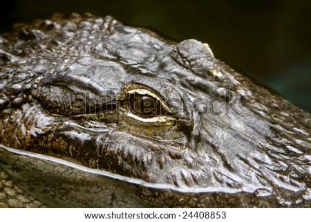 alligator peaking through the water - stock photo