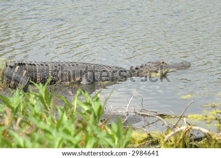 alligator relaxing in the lake - stock photo