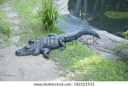 Alligator relaxing on the shore - stock photo