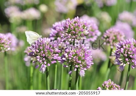 Allium, onion decorative. Decorative onion (allium) - a close relative conventional edible onion and garlic. Allium belongs to the family of onion (Alliaceae). - stock photo