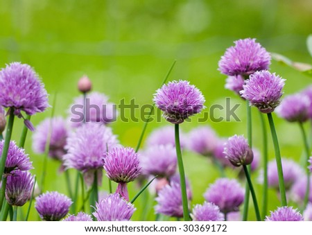 Allium schoenoprasum , chives or also known as green onion - stock photo