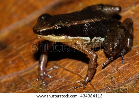 Allobates insperatus is a species of frog in the Aromobatidae family. It is endemic to Amazonian slopes of eastern Ecuador. - stock photo