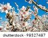 Almond blossom macro - stock photo
