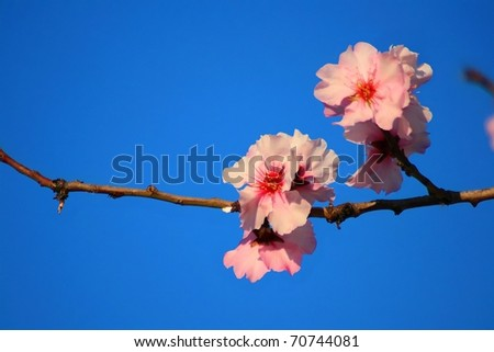 Almond blossom, pink variety. - stock photo