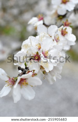 Almond blossoms beautiful trees with white flowers in spring on the field. - stock photo