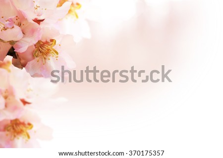 Almond blossoms over blurred nature background - stock photo