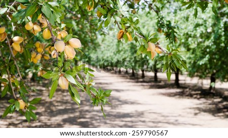 Almond Nuts Tree Farm Agriculture Food Production Orchard California - stock photo