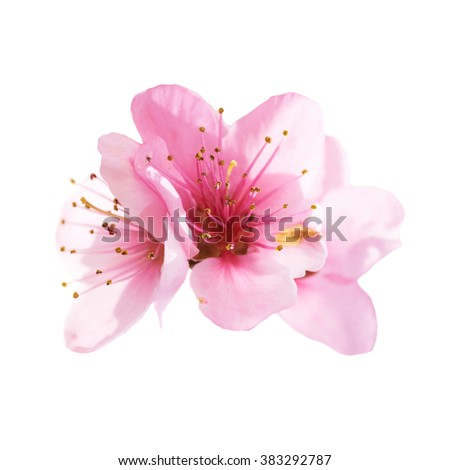 Almond pink flowers isolated on white background. Macro, closeup shot - stock photo