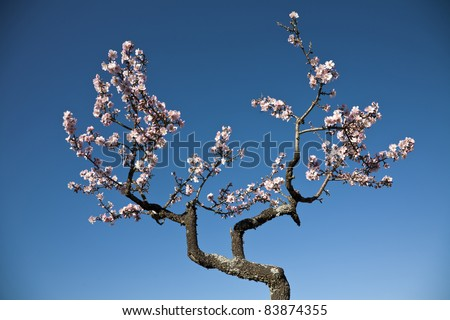 Almond tree blossom at spring over blue sky background - stock photo