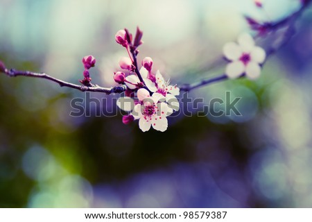 Almond Tree Flower - stock photo