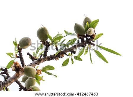 Almond tree isolated - stock photo