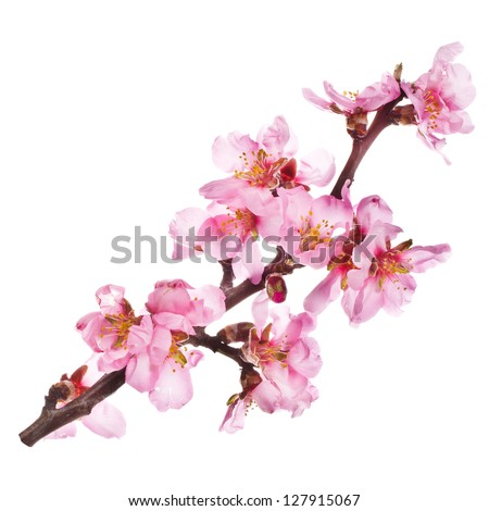 almond tree pink flowers close-up with branch isolated on white background. - stock photo