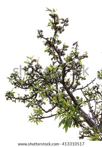 Almond tree with fruit - stock photo