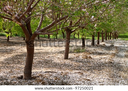 Almond trees rows background for different uses - stock photo