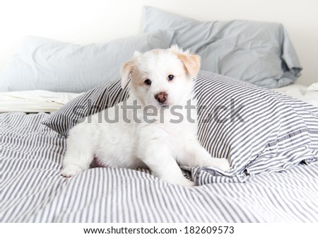 Almost Completely White Fluffy Puppy Sitting on Striped Human Bed - stock photo