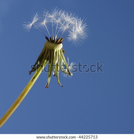 Almost empty dandelion clock with blue sky in background. Square format. - stock photo
