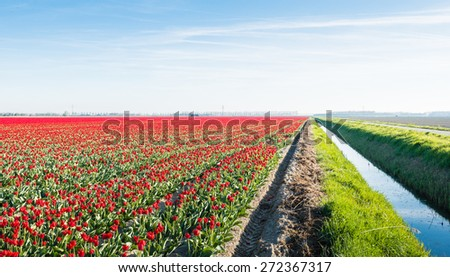 Almost endless field with red colored blooming tulips on the field of a Dutch bulb grower. Beside the field is a ditch with water. - stock photo