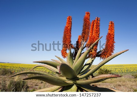 Aloe Ferox plant with background of rapeseed, Garden Route, South Africa. Aloe Ferox is used in many medicines and skin care products. - stock photo