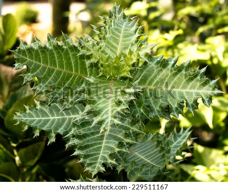 Aloe Hedgehog, green plant with thorny leaves  - stock photo