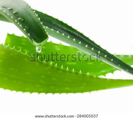 aloe juice drop close up isolated on white background - stock photo