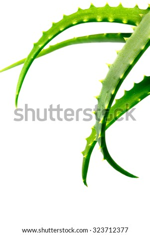 Aloe plant green with a drop of water close-up isolated on a white background  - stock photo