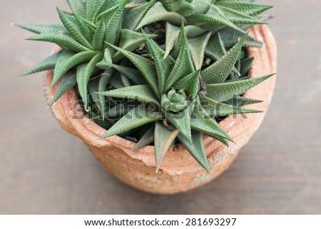 Aloe succulent - stock photo