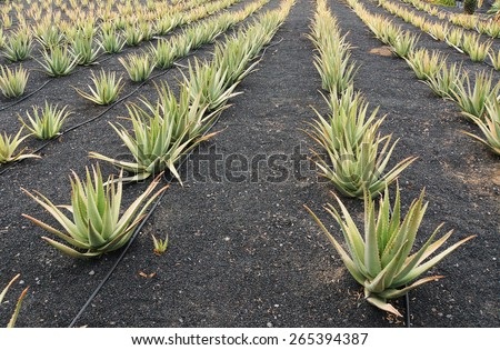 Aloe Vera field - stock photo
