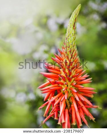 Aloe Vera Flower - stock photo