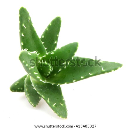 aloe vera plant - stock photo