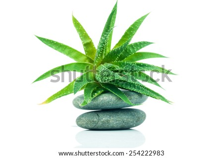 Aloe with stone isolated on white background - stock photo