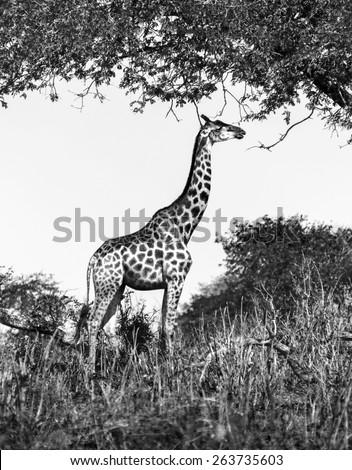 Alone giraffe in savanna - Chobe national park, Botswana, Africa (black and white) - stock photo