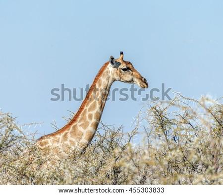 Alone giraffe in the Etosha National Park - Namibia, South-West Africa - stock photo