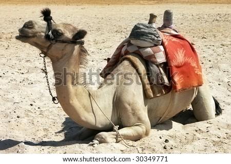 alone sitting camel in the desert - stock photo