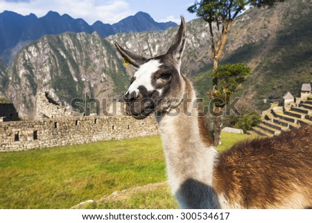 Alpaca at Machu Picchu, was designed Peruvian Historical Sanctuary in 1981 and a World Heritage Site by UNESCO in 1983. - stock photo