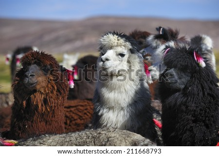 Alpaca in Altiplano high plateau in Andes Mountains, Chile - stock photo