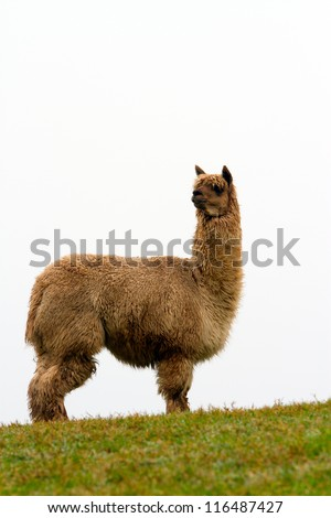 Alpaca on the hillside.  An alpaca resembles a small llama in appearance and their wool is used for making knitted and woven items such as blankets, sweaters, hats, gloves and scarves. - stock photo