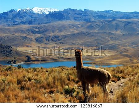 Alpaca on top of mountain overlooking a beautiful lake in Peru - stock photo