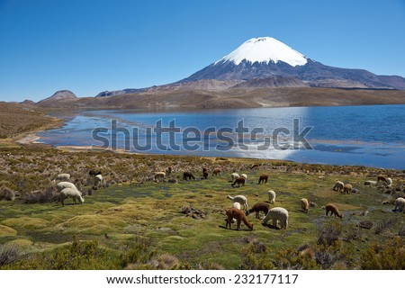 Alpaca's grazing on the shore of Lake Chungara at the base of Parinacota Volcano, 6,324m high, in the Altiplano of northern Chile. - stock photo