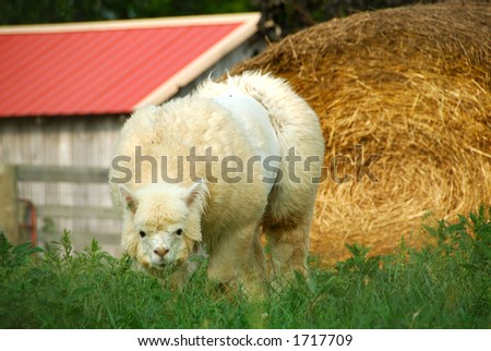 Alpaca sheep grazing in the field at the farm. The Alpaca (Vicugna pacos) is a domesticated breed of South American camel-like ungulates. - stock photo