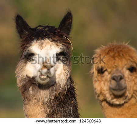 Alpaca who resemble a small llama in appearance and whose wool used for making knitted and woven items such as blankets, sweaters, hats, gloves and scarves. - stock photo
