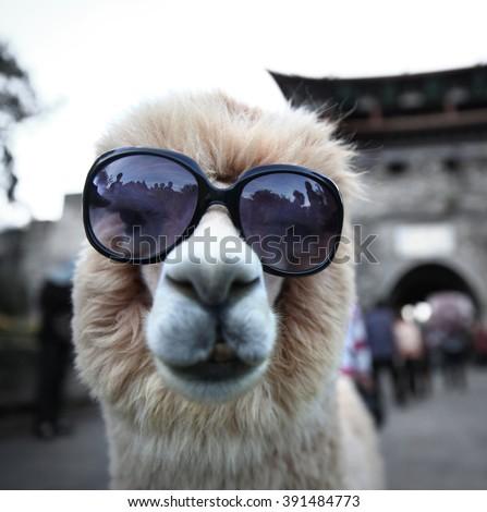 Alpacas  - stock photo