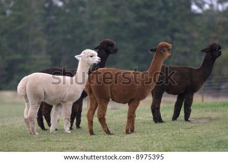 Alpacas at a ranch on Friday Harbor, WA. - stock photo