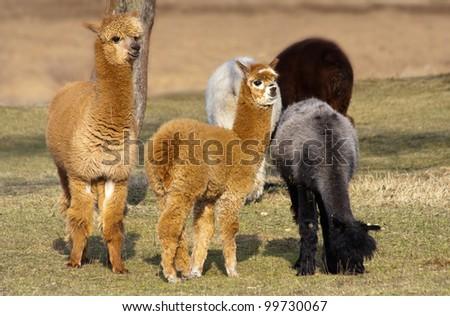 Alpacas in Poland - stock photo