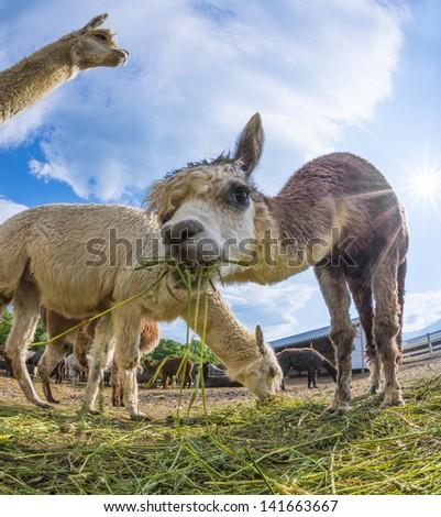 Alpacas Smiley - stock photo