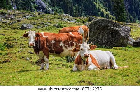 Alpen cows - stock photo