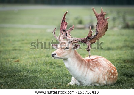 Alpha deer laying in a grass field - stock photo