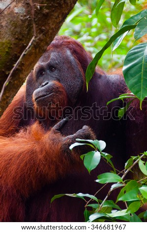 Alpha male orangutan eating portrait front seen in the jungle of national park Tanjung Puting, Kalimantan, Borneo, Indonesia - stock photo