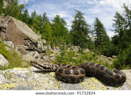 Alpine aspid viper and his habitat (female Vipera aspis atra) - stock photo