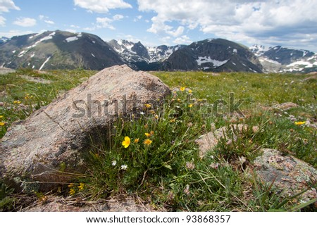 Alpine Avens on the mountain meadow in Rocky Mountains Trail Ridge Road, Colorado - stock photo