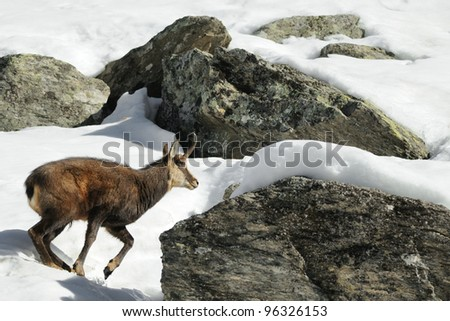 alpine chamois (Rupicapra rupicapra) running - stock photo